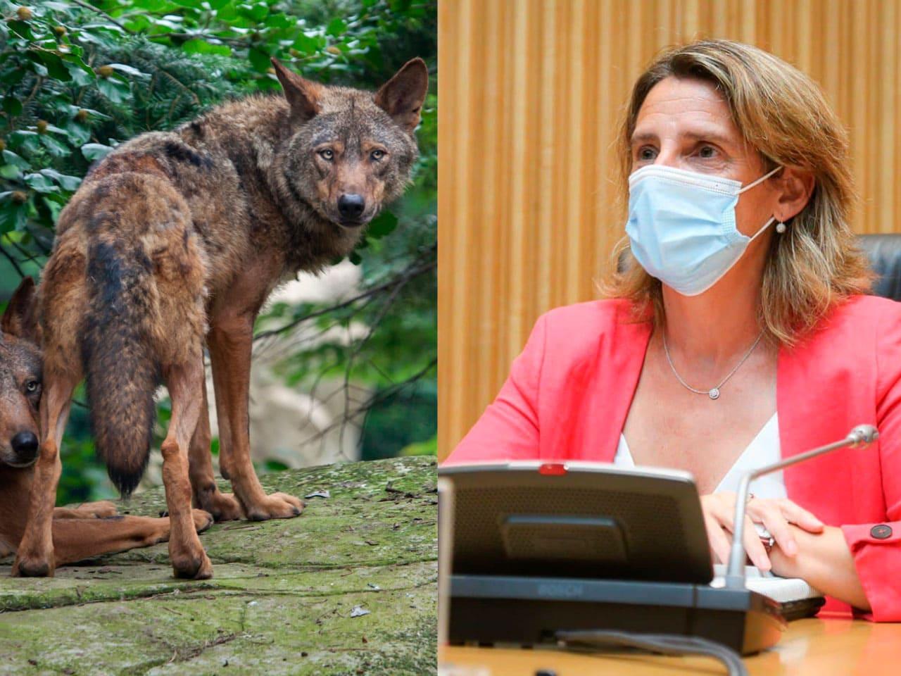RFEC lleva a Teresa Ribera a los tribunales por la prohibición de la caza del lobo en España